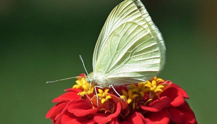 Giải mã giấc mơ thấy bướm trắng