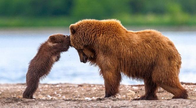 Mơ thấy con gấu